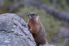 イエローストーン国立公園のマーモットの画像004