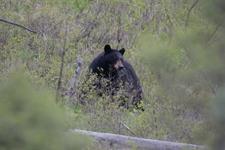 イエローストーン国立公園のブラックベアーの画像109