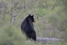 イエローストーン国立公園のブラックベアーの画像113