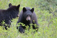 イエローストーン国立公園のブラックベアーの画像114