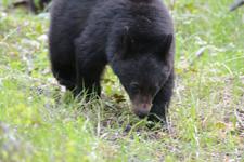 イエローストーン国立公園のブラックベアーの画像115