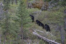 イエローストーン国立公園のブラックベアーの画像118