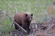 イエローストーン国立公園のブラックベアーの画像120