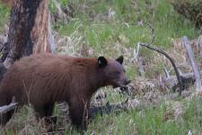 イエローストーン国立公園のブラックベアーの画像122