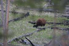 イエローストーン国立公園のブラックベアーの画像130