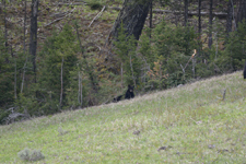 イエローストーン国立公園のブラックベアーの画像132