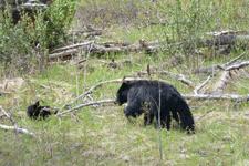 イエローストーン国立公園のブラックベアーの画像135