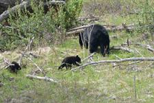 イエローストーン国立公園のブラックベアーの画像136