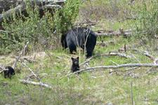 イエローストーン国立公園のブラックベアーの画像137