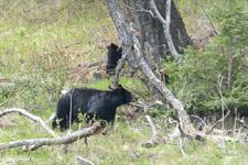 イエローストーン国立公園のブラックベアーの画像138