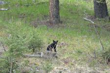 イエローストーン国立公園のブラックベアーの画像141