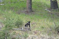 イエローストーン国立公園のブラックベアーの画像143