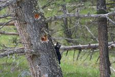 イエローストーン国立公園のブラックベアーの画像144