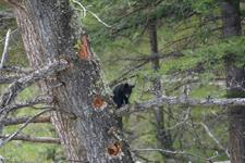 イエローストーン国立公園のブラックベアーの画像145
