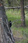 イエローストーン国立公園のブラックベアーの画像148