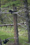 イエローストーン国立公園のブラックベアーの画像151