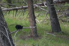 イエローストーン国立公園のブラックベアーの画像152