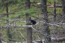 イエローストーン国立公園のブラックベアーの画像157