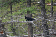 イエローストーン国立公園のブラックベアーの画像158
