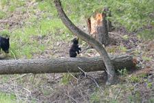 イエローストーン国立公園のブラックベアーの画像159