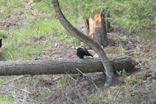 イエローストーン国立公園のブラックベアーの画像160