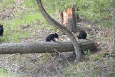 イエローストーン国立公園のブラックベアーの画像161