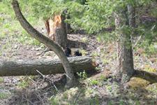 イエローストーン国立公園のブラックベアーの画像163