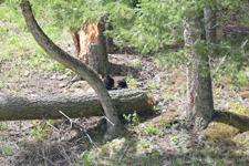 イエローストーン国立公園のブラックベアーの画像164