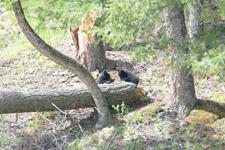 イエローストーン国立公園のブラックベアーの画像165