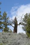 イエローストーン国立公園の木の画像001