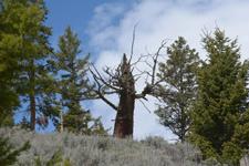 イエローストーン国立公園の木の画像002