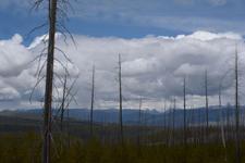 イエローストーン国立公園の山火事で焼けた木々の画像002