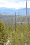 イエローストーン国立公園の山火事で焼けた木々の画像006