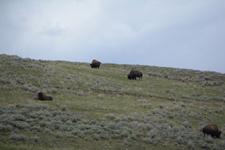 イエローストーン国立公園のアメリカバイソンの画像028