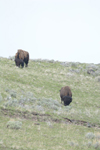 イエローストーン国立公園のアメリカバイソンの画像031