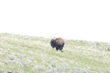 イエローストーン国立公園のアメリカバイソンの画像033