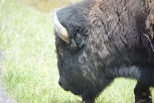 イエローストーン国立公園のアメリカバイソンの画像034