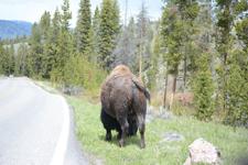 イエローストーン国立公園のアメリカバイソンの画像035