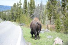 イエローストーン国立公園のアメリカバイソンの画像036