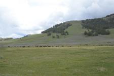 平原にいるアメリカバイソンの群れの画像004