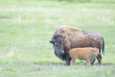 アメリカバイソンの子牛の画像001
