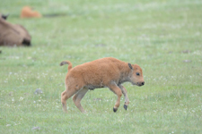 アメリカバイソンの子牛の画像003