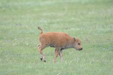 アメリカバイソンの子牛の画像004