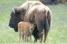 アメリカバイソンの子牛の画像005