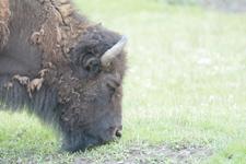 イエローストーン国立公園のアメリカバイソンの画像037