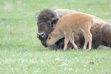 アメリカバイソンの子牛の画像009