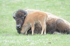 アメリカバイソンの子牛の画像011