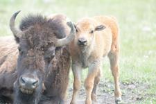 アメリカバイソンの子牛の画像012