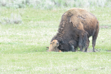アメリカバイソンの子牛の画像017