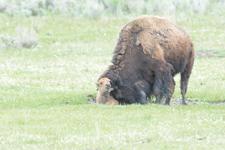 アメリカバイソンの子牛の画像018